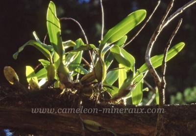 diego montagne d'ambre orchidée épiphyte