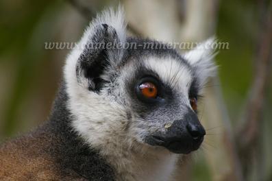 lemurien maki catta1