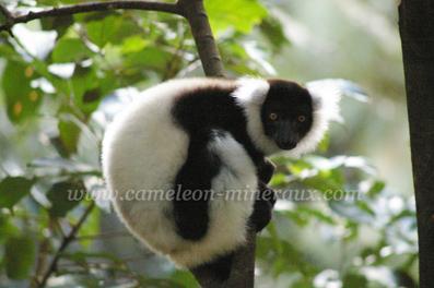 lemurien vari noir