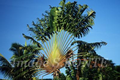 palmier ravenala symbole de Madagascar